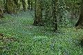Bluebells in Narrow Wood, Wadborough - geograph.org.uk - 781172.jpg
