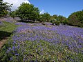 Bluebells on Easdon Down - geograph.org.uk - 1333506.jpg