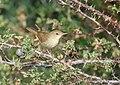 Blyth's Reed Warbler (Acrocephalus dumetorum) (44959887491).jpg