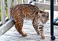 Bobcat (4195851204).jpg