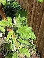 Bocconia frutescens L. (AM AK353931-2).jpg