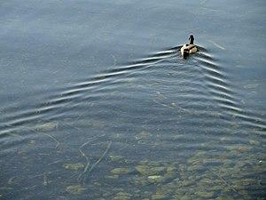 Wake - Classic duck wake