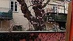 Bodnant Schneeball im Valentingarten 01.jpg