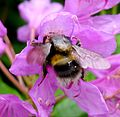 Bombus hortorum - Flickr - gailhampshire.jpg