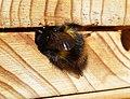 Bombus pratorum using a sunny spot - Flickr - gailhampshire.jpg