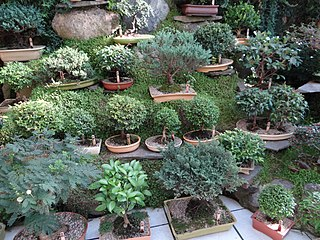 "Bonsai (盆栽, ""tray gardening"", in Japanese) pic. ao1aa.jpg"