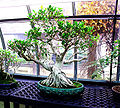Bonsai Tree 071.jpg