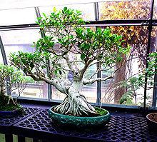 Ficus Retusa Wikipedia