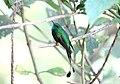 Booted Racket-tail (Ocreatus underwoodii) (9496833547).jpg