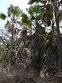 Borassus aethiopum 0024.jpg