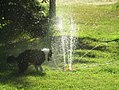 Border Collie playing in sprinkler 2.jpg
