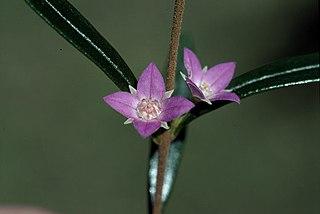 <i>Boronia excelsa</i> species of plant