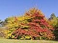 Botanischer Garten Berlin-Dahlem 10-2014 photo13 Parrotia persica.jpg