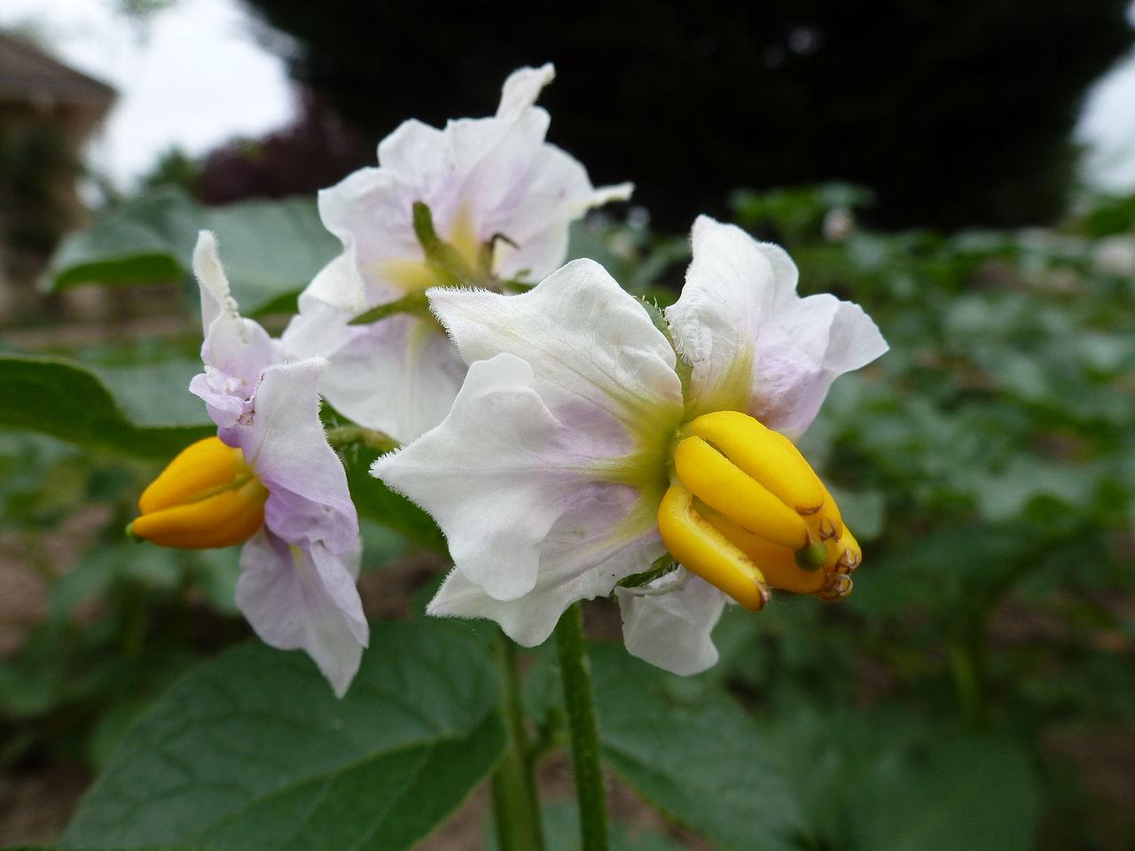 File bouquet de fleurs de pommes de terre 001 jpg for Bouquet de fleurs wiki