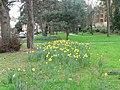Bournemouth, Knyveton Gardens daffodils - geograph.org.uk - 731736.jpg