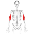 Brachialis muscle06.png