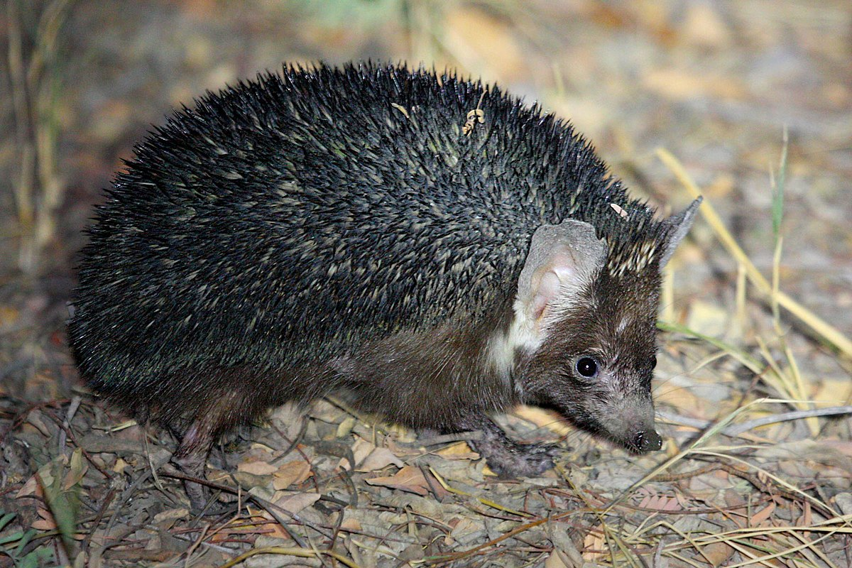 Brandt's hedgehog - Wikipedia