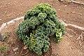 Brassica oleracea var. acephala 01.jpg