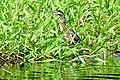 Brazil-00417 - Cocoi Heron (48964010872).jpg