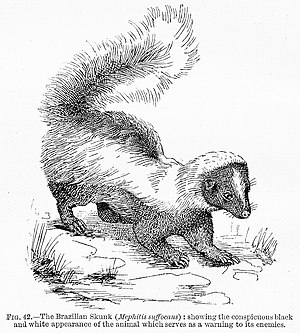 "Edward Bagnall Poulton - Warning coloration of the ""Brazilian Skunk"" in The Colours of Animals: Poulton introduced the term aposematism in the book."