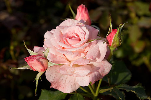 Bridal pink - morwell rose garden edit.jpg