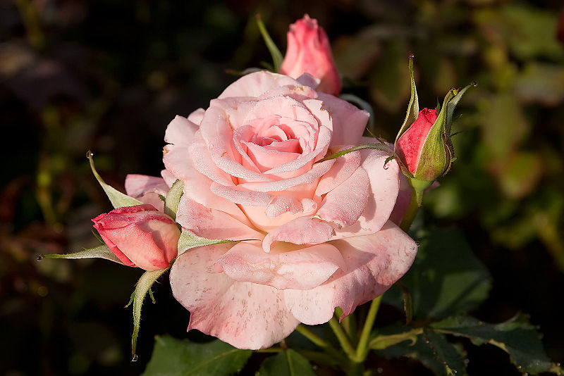 File:Bridal pink - morwell rose garden edit.jpg