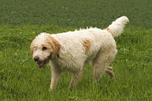 shaggy looking dog walking in grass. Hair is mostly dirty white with and orange spots side, tail and ears.