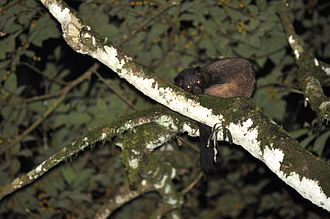 Brown palm civet resting in the fork of a tree branch in the Anamalai hills BrownPalmCivet DSC 2101.jpg