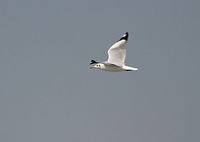 alt=Description de l'image Brown headed Gull I IMG 9327.jpg.