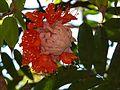 Brownea coccinea (2206468097).jpg