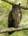 Bubo virginianus -Reifel Migratory Bird Sanctuary-8