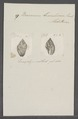 Buccinum maculosum - - Print - Iconographia Zoologica - Special Collections University of Amsterdam - UBAINV0274 085 06 0009.tif