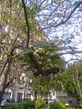Bucuresti, Romania. Arborele Paulownia. Asa arata acum, 1 Mai 2017, cracuta din aprilie. Frunze mari si verzi.jpg