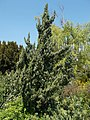 Budai Arborétum. Alsó kert. Kínai boróka (Juniperus chinensis). - Budapest.JPG
