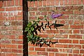 Buddleia in the wall - geograph.org.uk - 918327.jpg