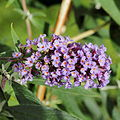 Buddleja alternifolia 'Nanho Purple'-IMG 6159.jpg