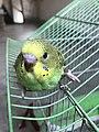 Budgerigar Bird 04.jpg