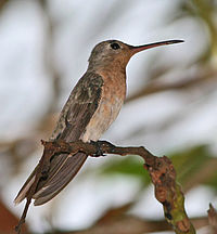 BuffyHummingbird