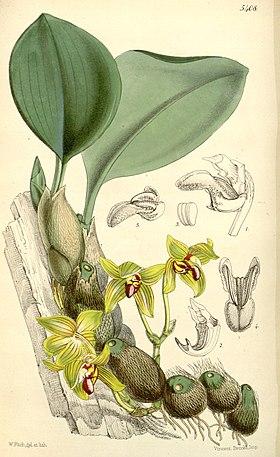 Bulbophyllum psittacoglossum (as Sarcopodium psittacoglossum) - Curtis' 89 (Ser. 3 no. 19) pl. 5408 (1863).jpg