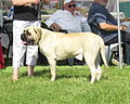 Bullmastiff Moletai May 2014.jpg