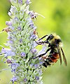 Bumble Bee - Black Hills National Forest - Scott Weins.jpg