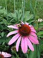 Bumblebee on Cone Flower.JPG