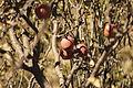Bunch of apple manish.JPG