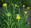 Buphthalmum salicifolium 2016-05-31 2143.jpg