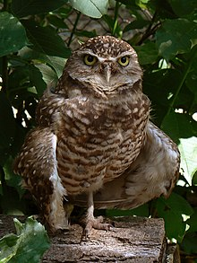 Burrowing Owl3.jpg