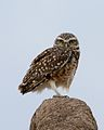 Burrowing owl IB - Lip Kee.jpg