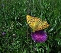 Butterfly - panoramio - fabiolah.jpg