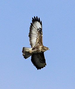Buzzard UK09.JPG
