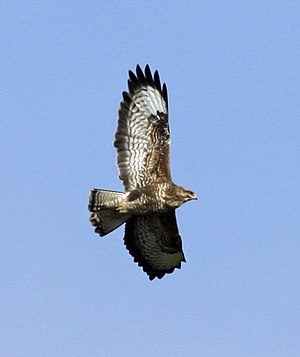 Fan Brycheiniog - Common Buzzard in flight, Devon, England. There are around 40,000 breeding pairs in the United Kingdom