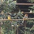COLLECTIE TROPENMUSEUM Twee vuurkopbaardvogels (Trachyphonus erythrocephalus) op een tak TMnr 20038608.jpg